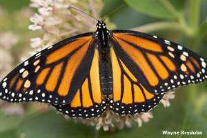 Monarch Butterflies nectaring at New England aster.