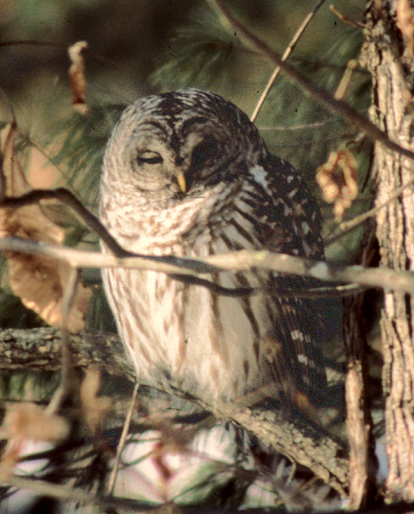 Listen to Owls: Audio Clips
