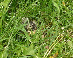 Baby robin hiding in the grass