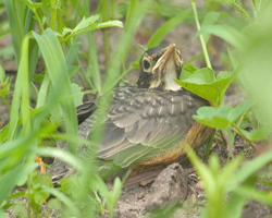 Baby robin in grass after fledging