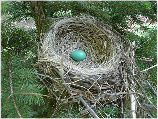 Robin nest with egg