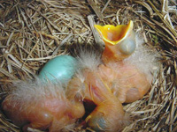 Nesting and egg in robin nest