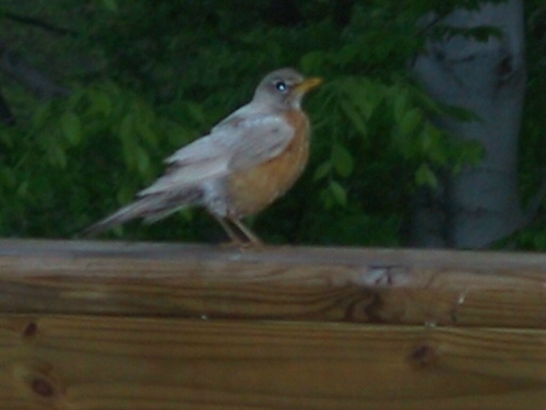 Journey North American Robin