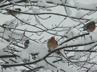 Four fluffed robins in snowy tree