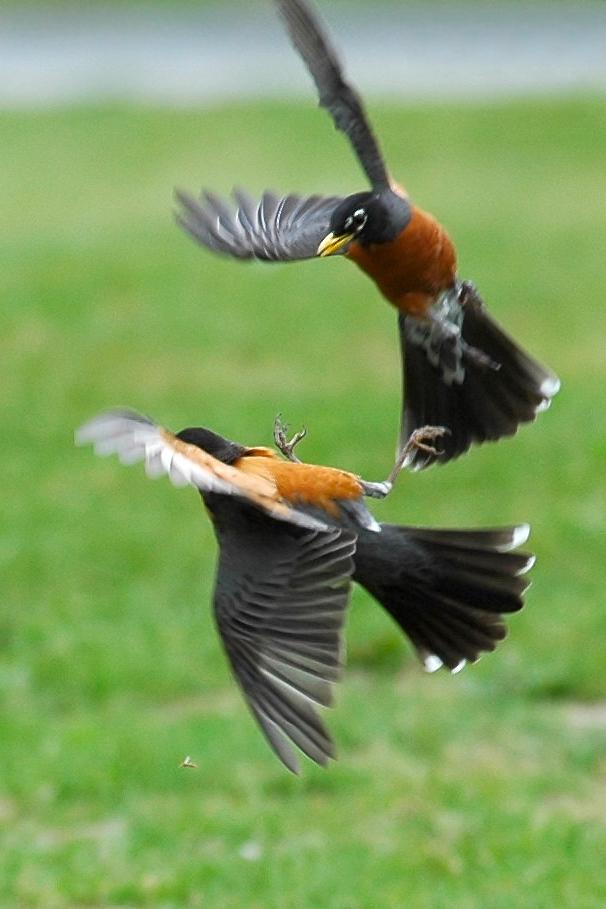 Robin: Defending Territory
