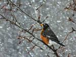 Robin in snowstorm