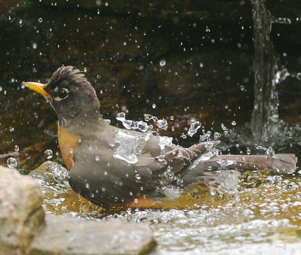 Robin: Taking a Bath