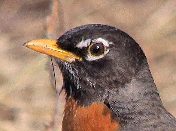 Robin Beak