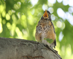 Speckled baby robin on branch