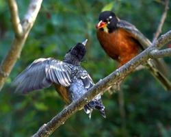 Dad feeds juvenile robin