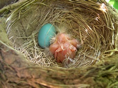 Photo of baby robins in nest on Day 1