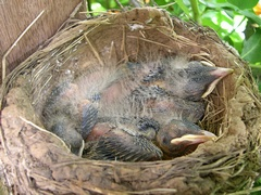 Photo of baby robins in nest on Day 8
