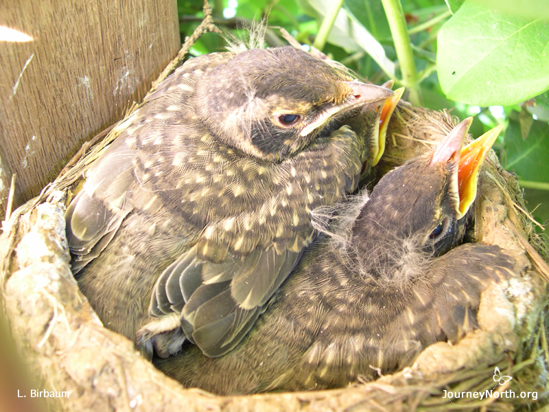 Baby robins in the nest.