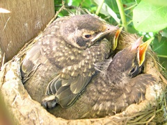 Photo of baby robins in nest on Day 13?