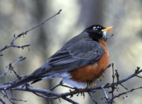 Male robin in winter