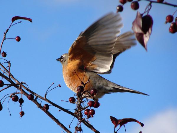 American Robin Migration