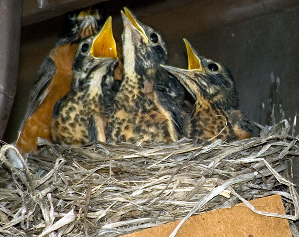 Robin: Nestlings Begging For Food