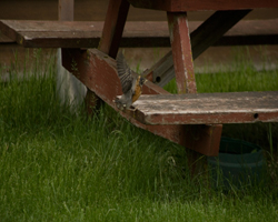 Baby robin flies up to picnic table bench