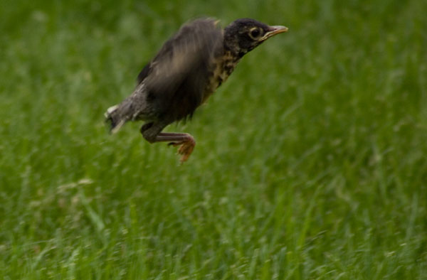 Baby robin's first takeoff
