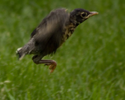 Baby robin jumps and flaps, learning to fly.