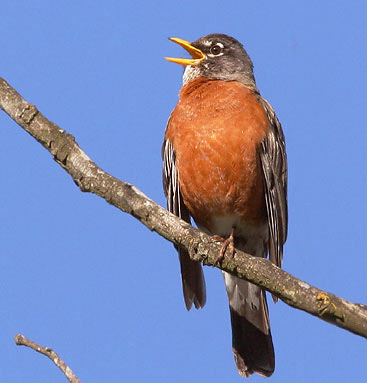 Male robin sings from his perch on a  branch
