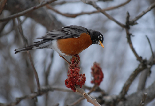 A robin eats sumac on a winter day.
