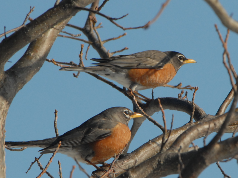 Photo: When do robins migrate