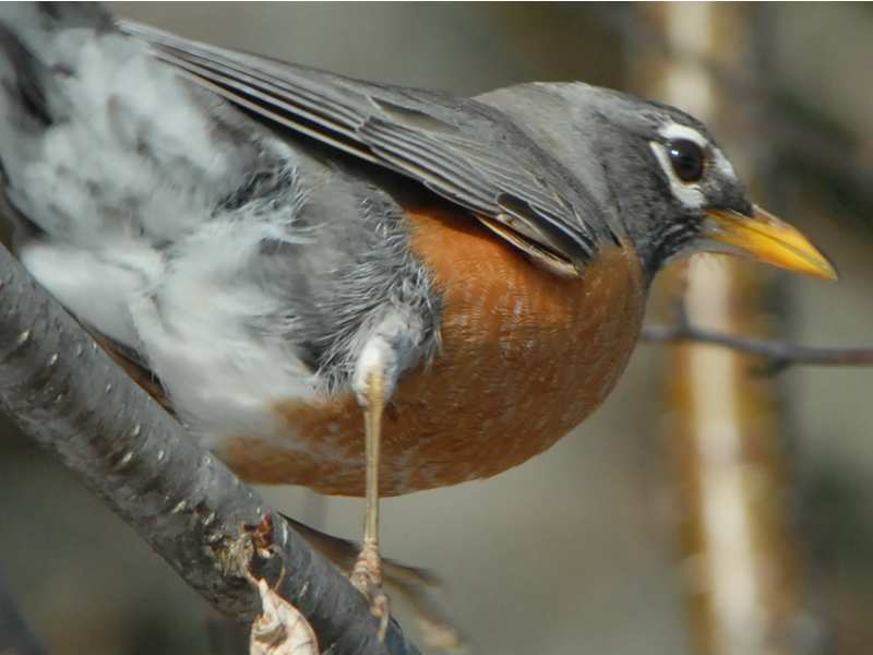 Photo: Robins Migrating in Spring