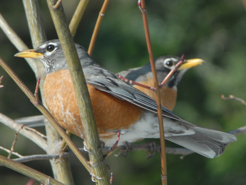 Photo: Robin Migration