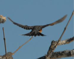 Near-adult robin in flight
