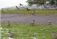 Waves of Migrating Robins