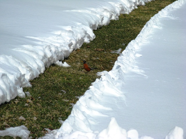 Robin hunts for worms in a snow-melt area.