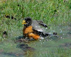 Amercan robin taking a bath.