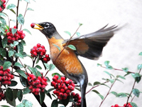 A robin eating berries in winter.