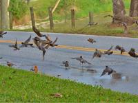 flock of robins and cedar waxwings