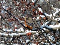 Robin in crabapple tree in winter