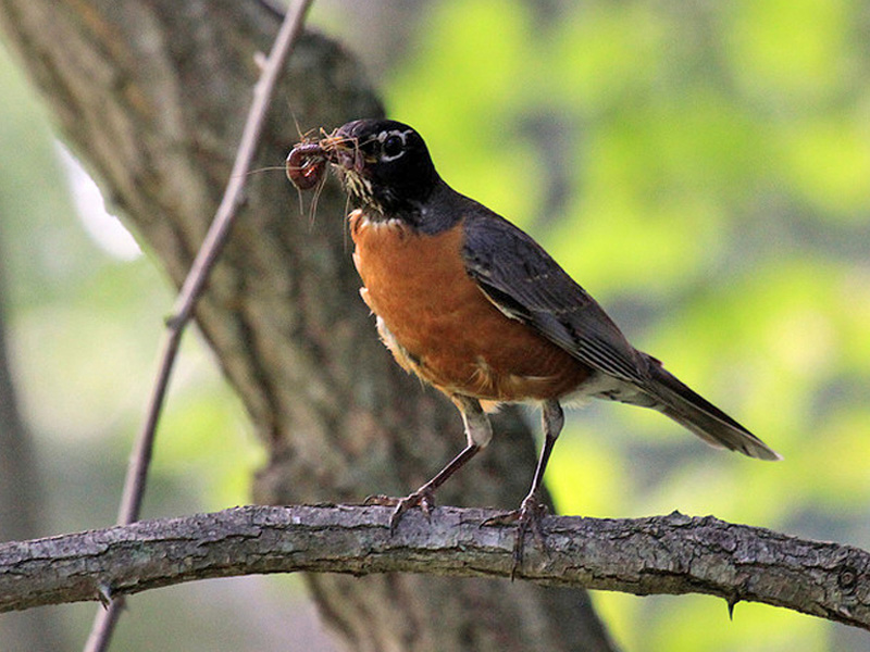 Robin feeding worms