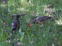 juvenile robins find cherries on the ground