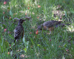 Two juvenile robins by fallen cherries