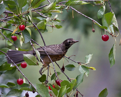 Juvenile robin ponders how to get the cherry.