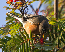 American robin eating berries in a mountain ash tree.