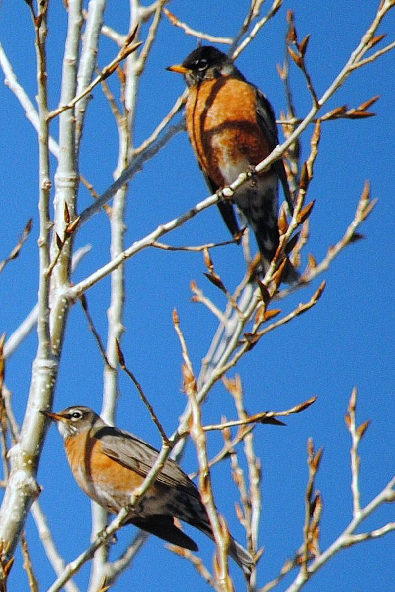 American Robin Facts: Migration