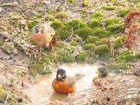 Robins having mud bath