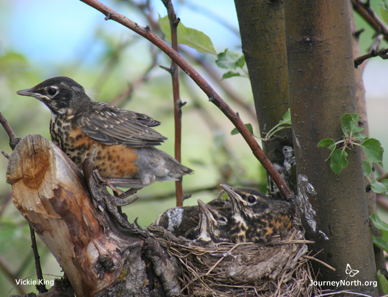 Nestling about to fledge
