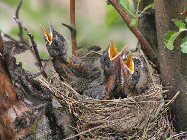 Robin Annual Cycle: June Babies in the nest