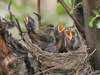 Hungry robin nestlings