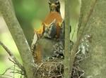 Robin visiting nestlings in nest