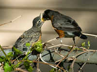 Robin dad feeds fledgling