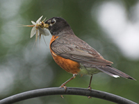 Robin with a mouthful of insects to eat.