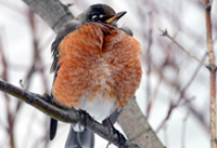 Robin fluffs feathers to keep warm.